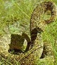 Picture of rattlesnake