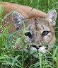 Picture of mountain lion