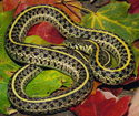 Picture of plains garter snake