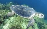 Picture of loggerhead turtle